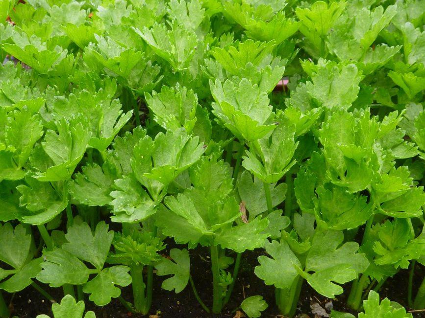 Внешне его листья напоминают всем известную петрушку. Наиболее известен в мире сельдерей пахучий