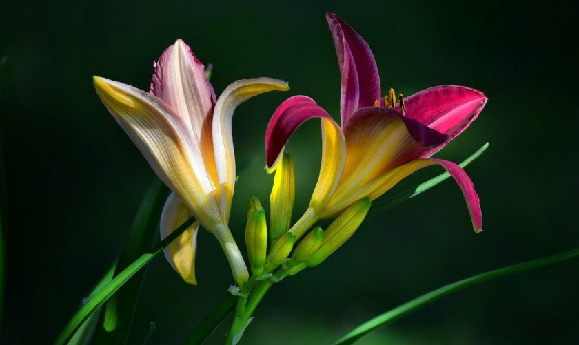 Лилейники: описание, классификация сортов, выращивание, уход и размножение (Фото & Видео)  Отзывы || Лилейник махровый сорта