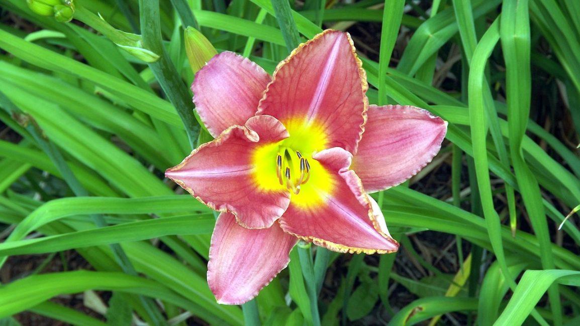 Цветок Лилейник