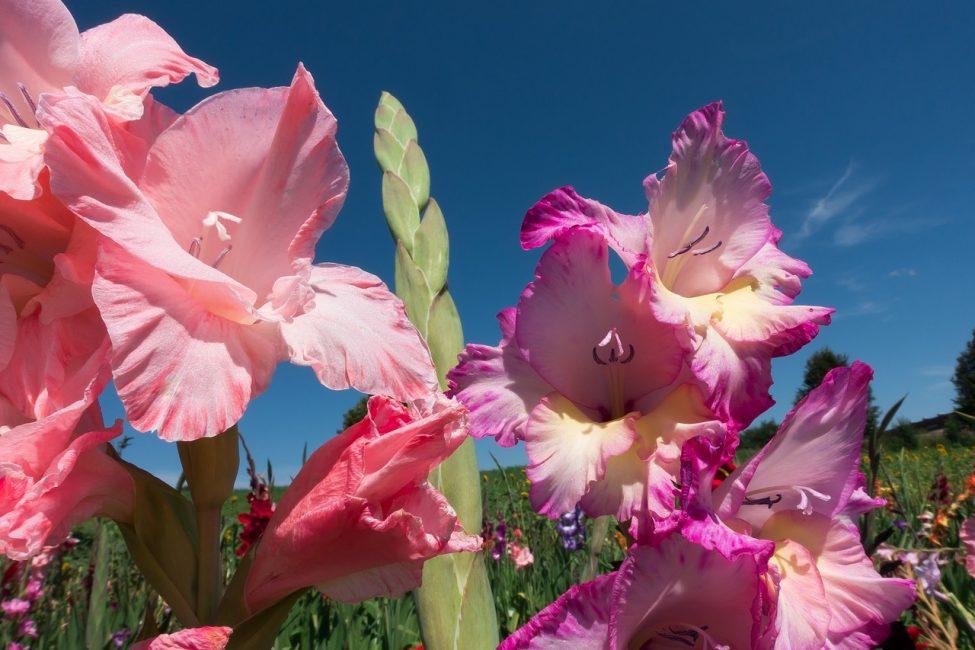 Нежные розовые гладиолусы