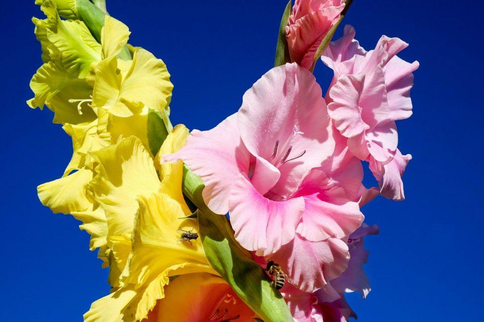 Желтые и розовые гладиолусы
