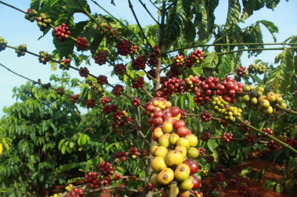 Кофейное дерево в природе. Сорт Эфиопский Харар, арабика