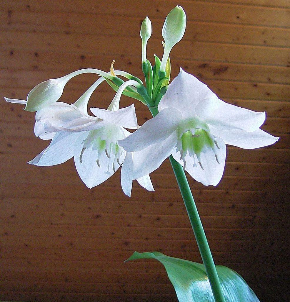 Комнатные растения с белыми цветами, фото домашних цветков белого цвета 28