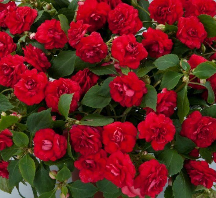 Ампельный сорт бальзамина «Красный дабл»
