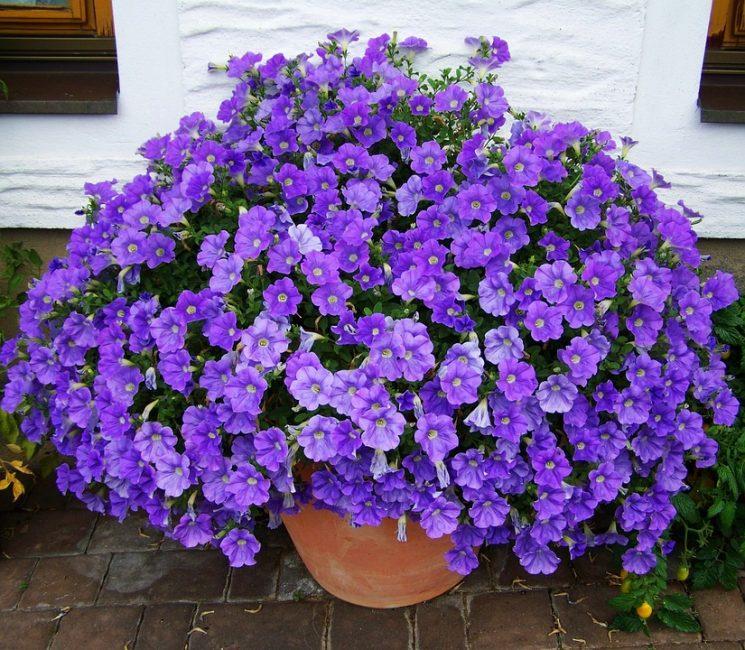 Роскошная шапка полумахровых цветков петуний.