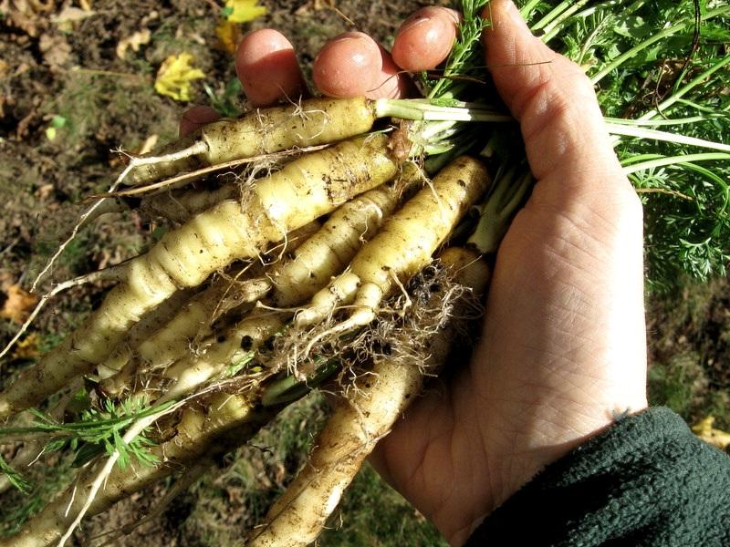 Дикая морковь, родоначальница всех современных разновидностей