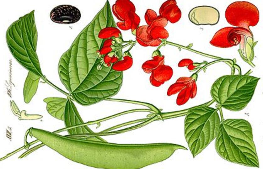 Латинское название фасоли – Phaseolus vulgáris – вульгарная, то есть обыкновенная