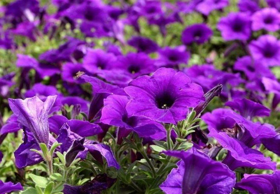 Royal Velvet, роскошь фиолетовых оттенков