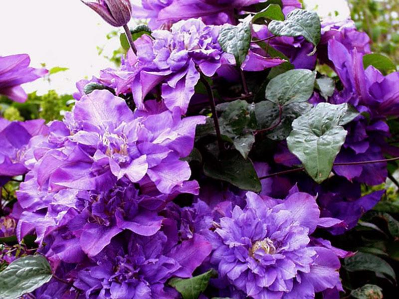 Клематис цветистый, родом из Северной Америки