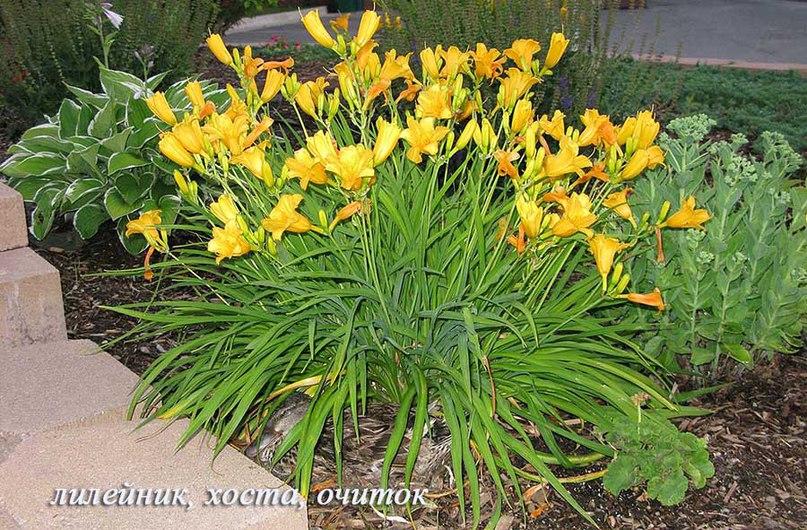 Лилейник Жёлтый Великан. Видны соцветия с несколькими цветками