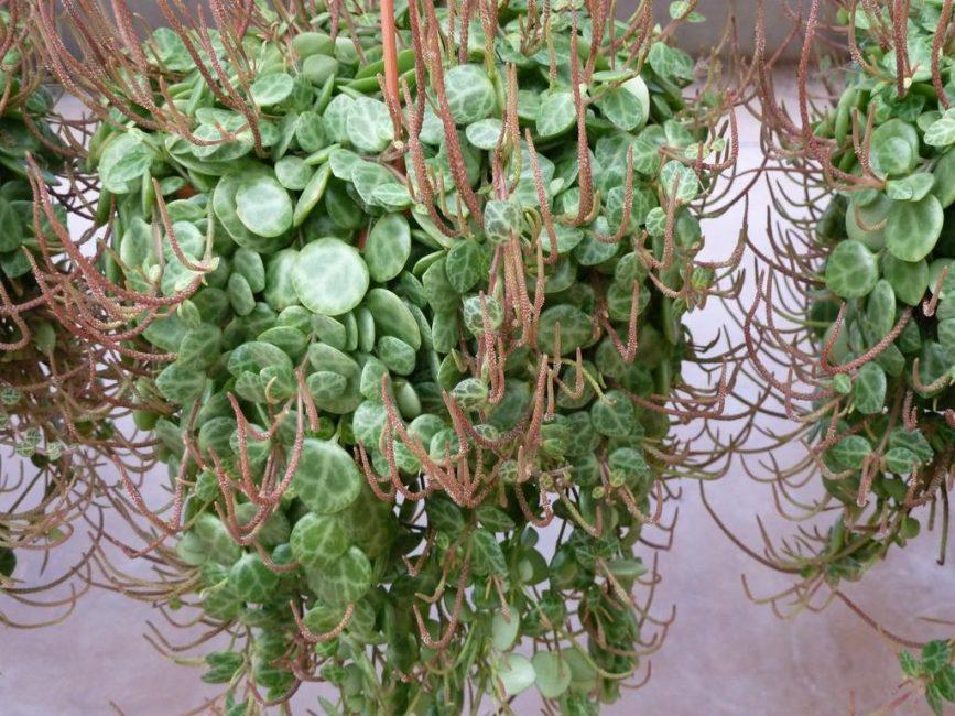 Пеперомия плавленая при ампельном выращивании во время цветения