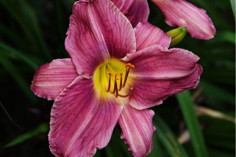 Лилейник «тёмной» расцветки. Сорт Жокей Клаб