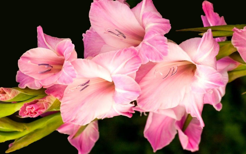 Соцветие розового гладиолуса сорта Прага