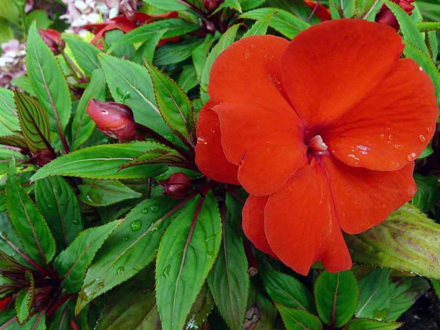 Цветок сорта «Стардаст» крупным планом