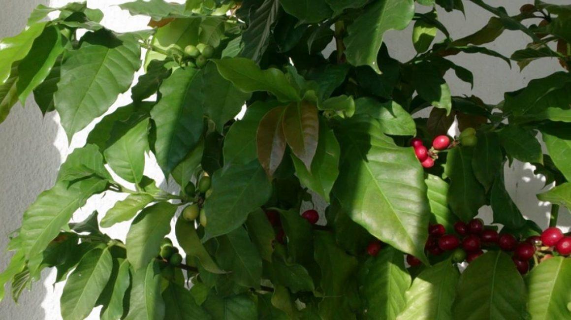 Плодоносящее кофейное дерево (арабика), выращенное в домашних условиях