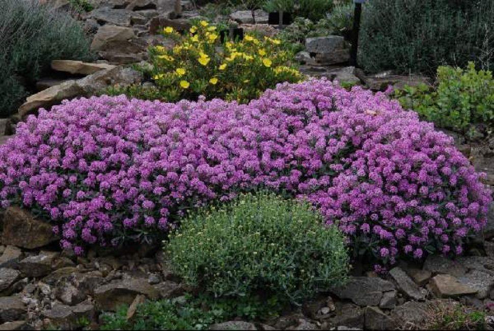 Насыщенно-малиновый алиссум – украшение каменистого сада