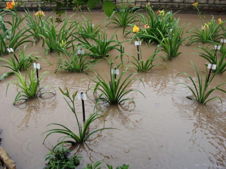 Критичный для лилейника застой воды