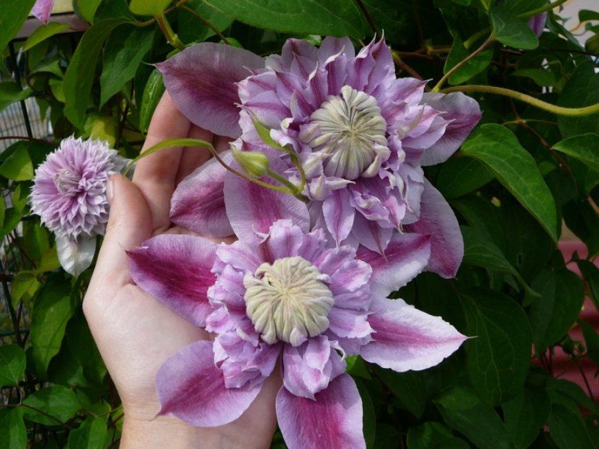 Клематис сорта «Жозефина». Цветы до 16 см в диаметре