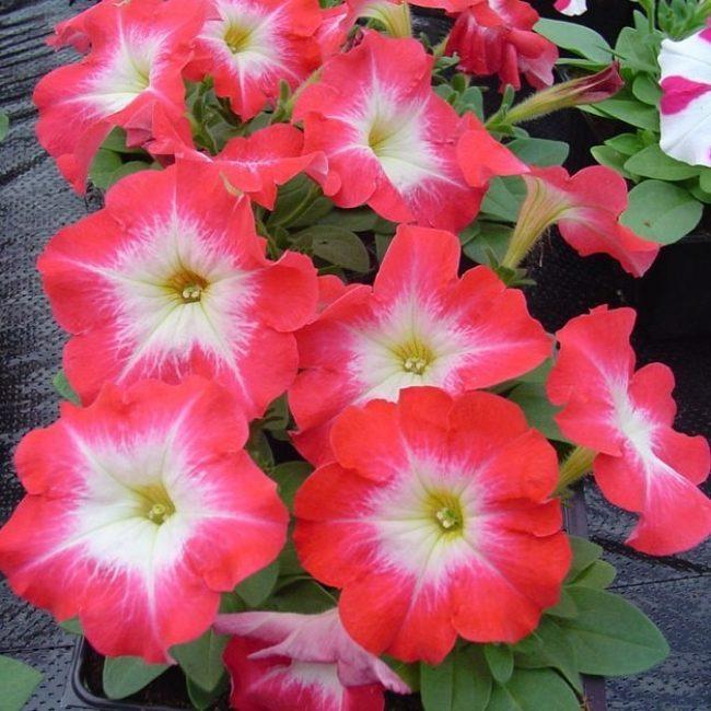 Сорт Мираж с яркими малиновыми цветками и бело-зеленым зевом