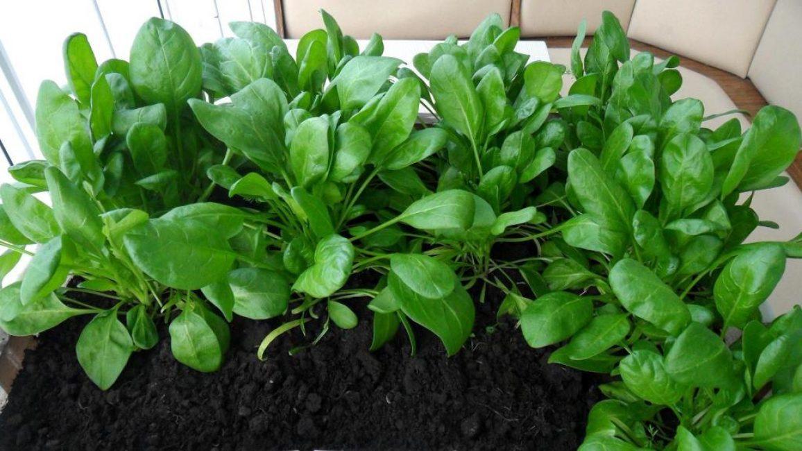 Листья шпината достигли в длину 10 см. Они уже готовы к срезке.