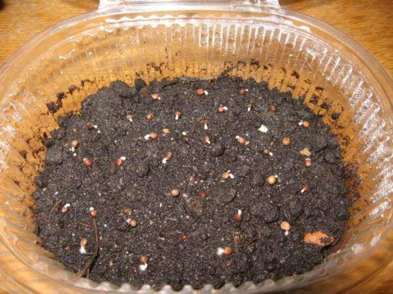 Прорастающие семена недотроги