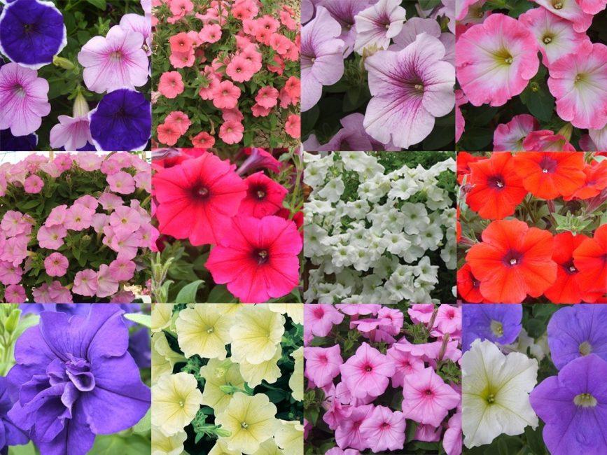 Многообразие сортовых петуний: фото цветов