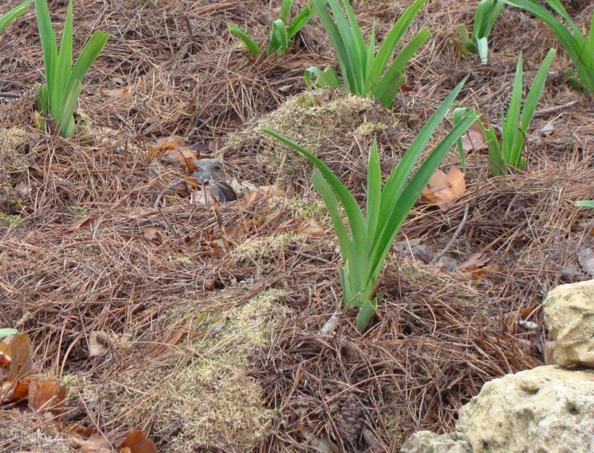 Мульчирование почвы, оставшееся с прошлого сезона