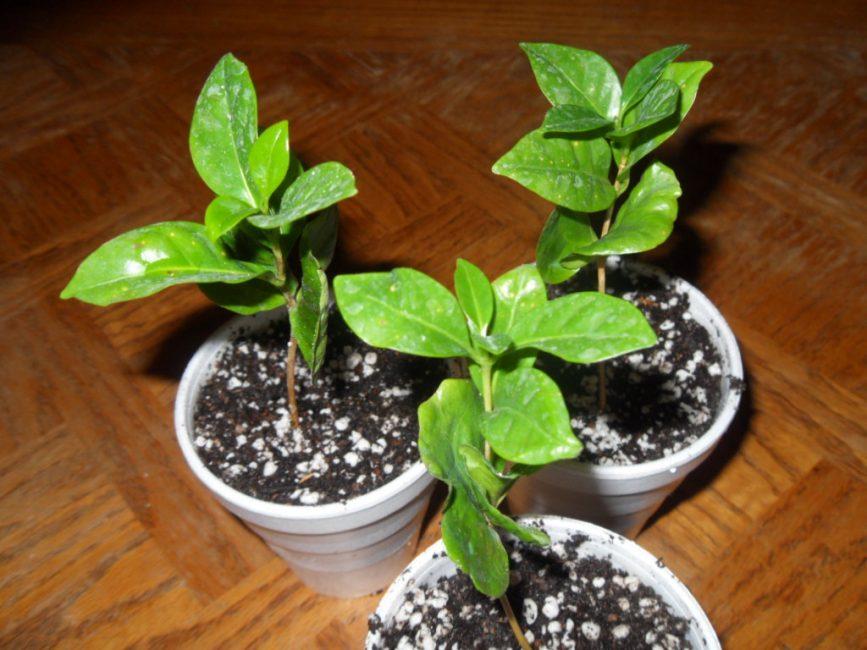 Кофейное дерево возрастом 3-4 месяца в индивидуальных горшках