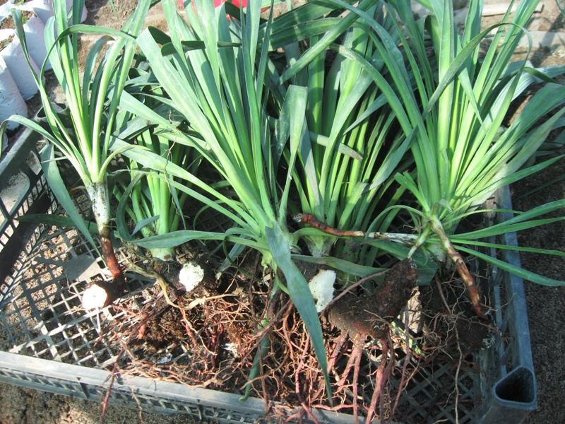 Размножение лилейника методом деления куста. Разделенный на части куст перед посадкой