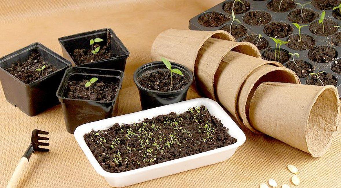 Для посадки селеры можно выбрать любую удобную ёмкость – деревянный ящик, кассеты, стаканчики, пластиковые контейнеры