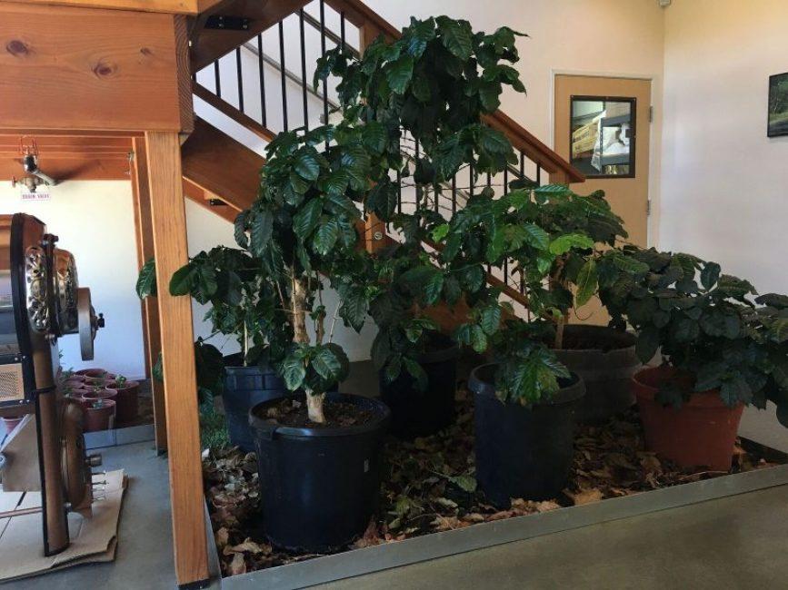Кофейные деревья в условиях полутеневого освещения