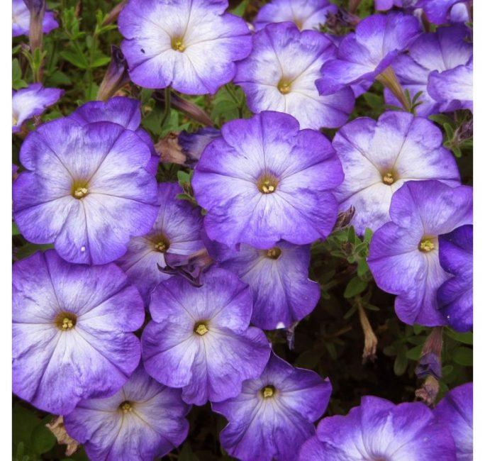 Lavender Morn
