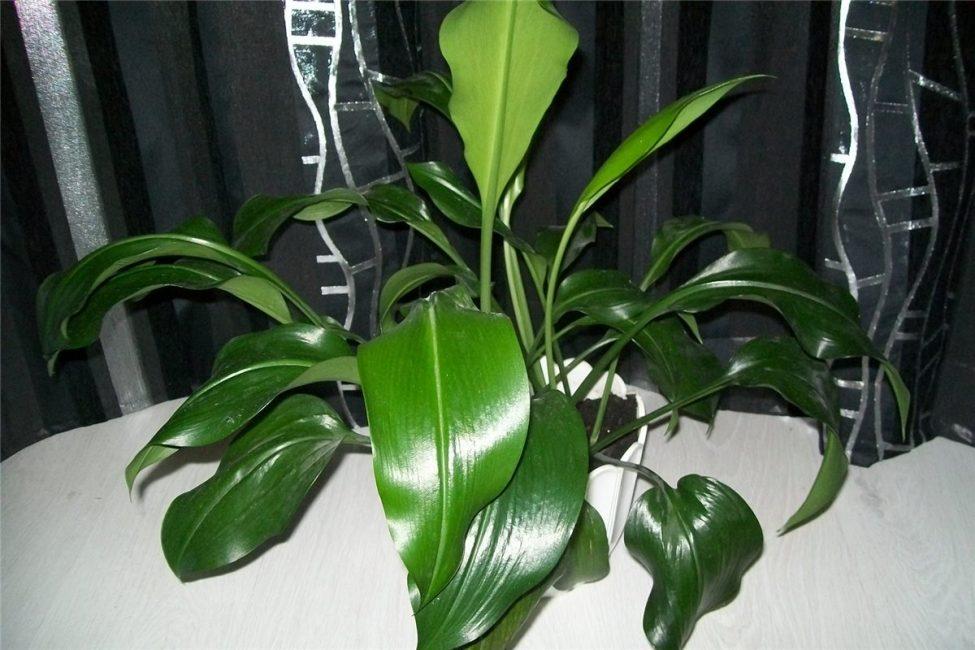 Обильная вегетация эухариса