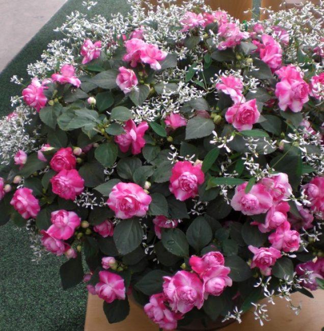 Сорт второй группы «Розовая фиеста», большинство цветков которого сдвоенные
