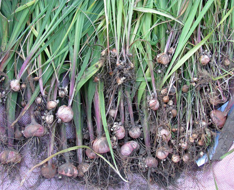 Выкопанные луковицы гладиолусов с детками
