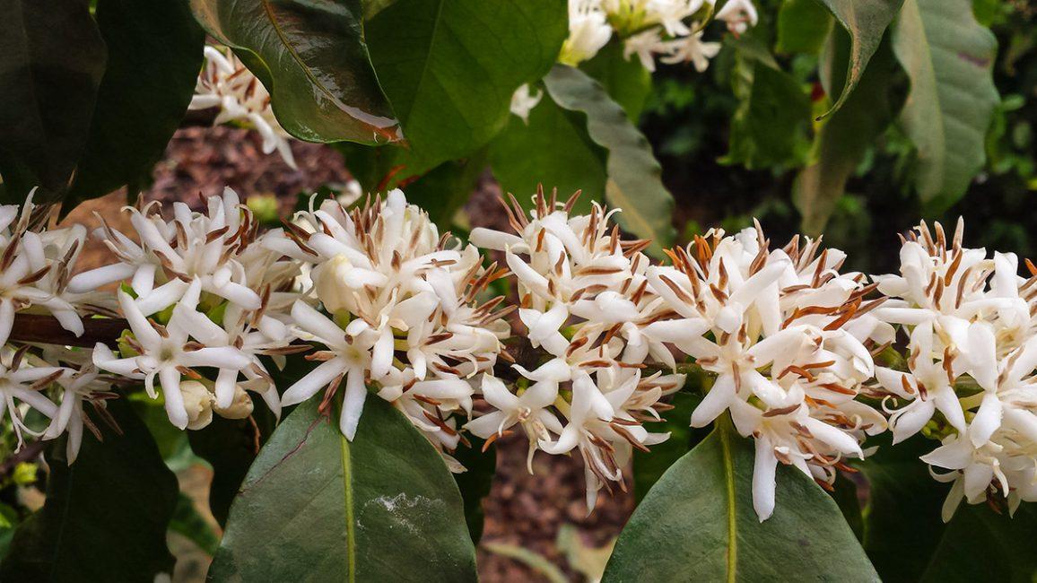 Цветы кофейного дерева