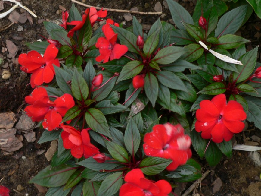 Типичное растение третьей группы – сорт «Парадиз Тимор»