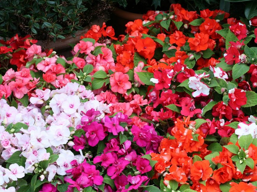 Естественная расцветка всех видов оригинального бальзамина Уоллера