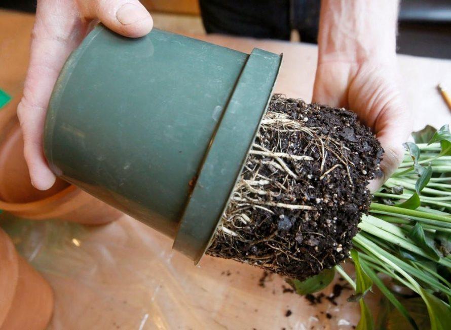 Извлечение земляного кома с растением при перевалке