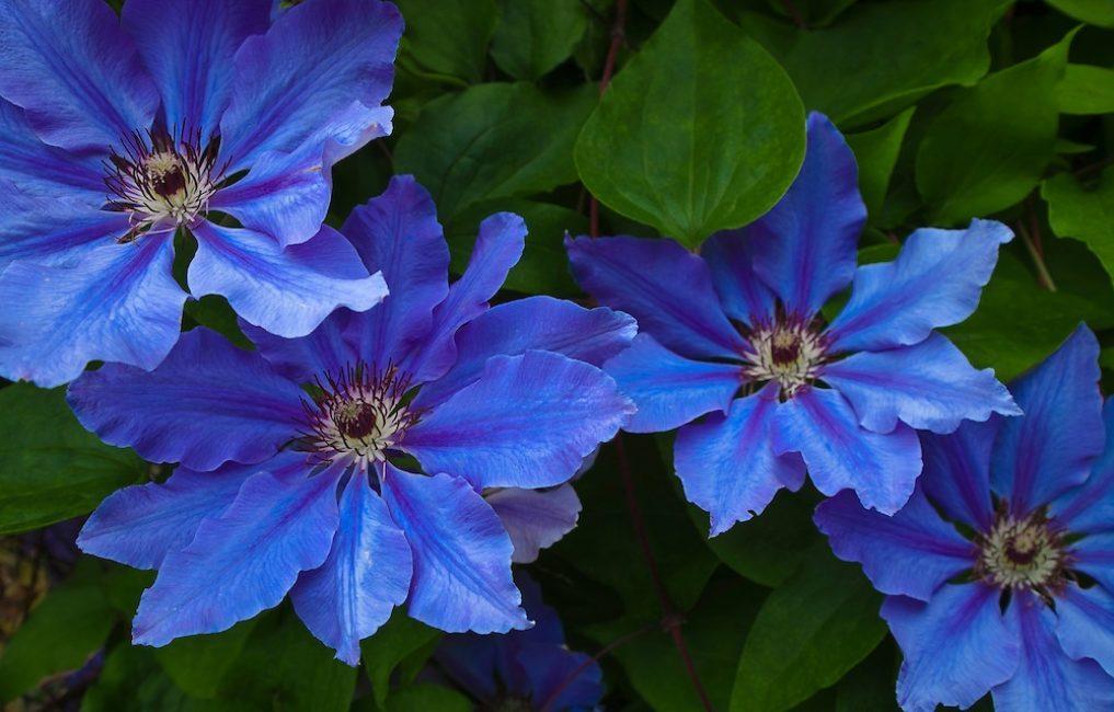 Синий клематис. Одна из удачных гибридизаций из группы Ланугиноза