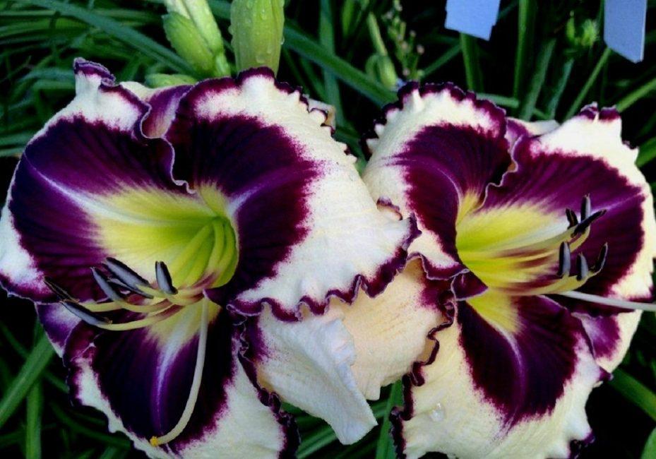 Крупноцветковый лилейник сорта Любовное Заклятие