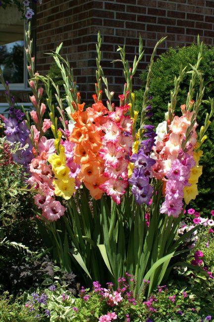 «Почти все в одном»: крупноцветковые, примуловые и бабочковидные гладиолусы на одной клумбе