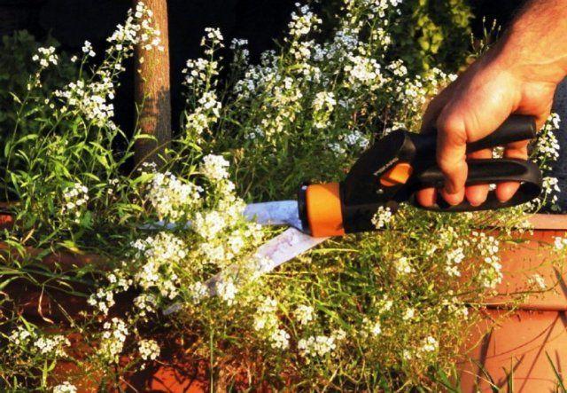 Обрезка не только позволяет сохранить декоративность куста, но и продляет период цветения