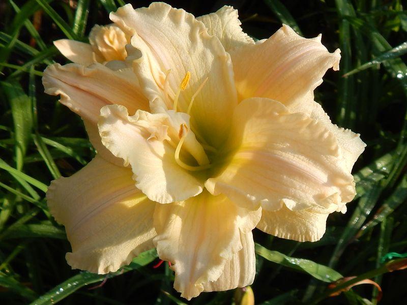 Махровый лилейник типа «цветок в цветке» сорт Сеянец Анасенко