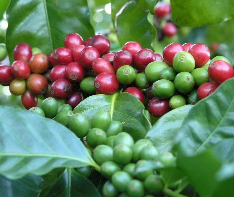 Зрелые плоды сорта Типика