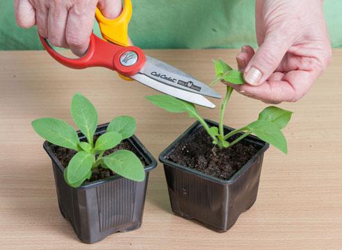 Процедуру прищипывания можно повести с помощью ножниц, можно просто отщипнуть руками