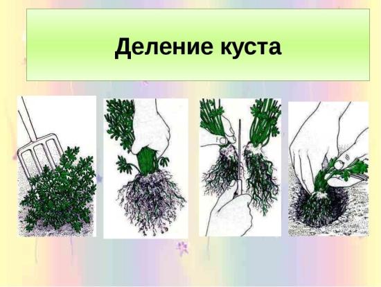 На фото подробно показан процесс деления маточного растения