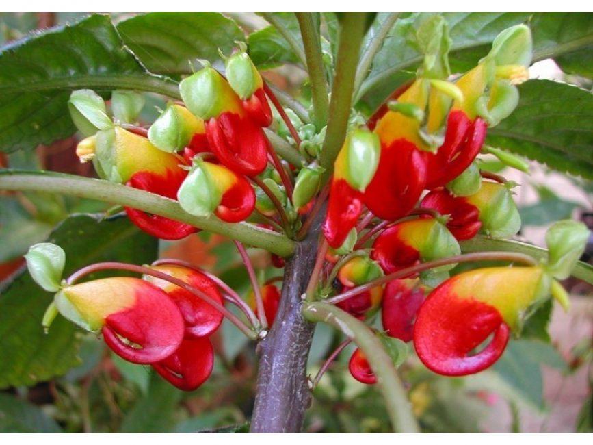 Цветы ниамейского бальзамина