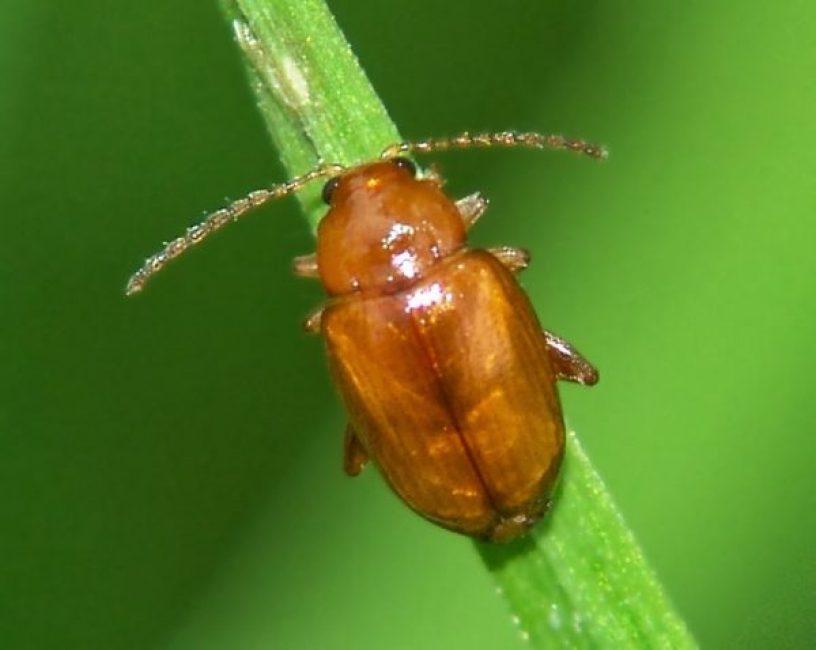 Вот такое вредное насекомое можно встретить на побегах алиссума