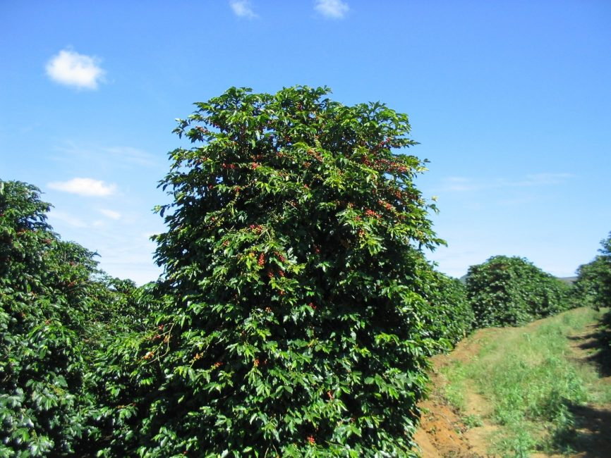 Кофейное дерево сорта Конго (робуста)